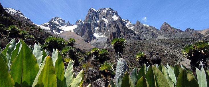 Giant Lobelia sul Monte Kenya - Flora del Kenya