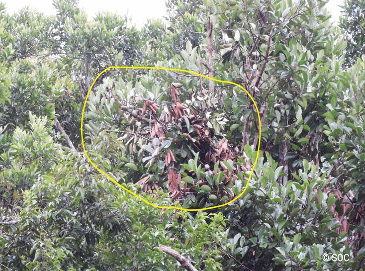 Ein Nest, von Terra gebaut, Ende Juli, ®Sintang Orangutan Center