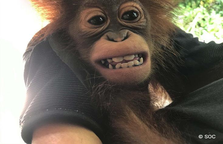 Die Zähne müssen kontrolliert werden, ®Sintang Orangutan Center