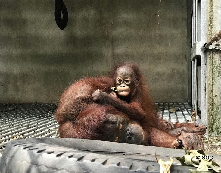 Artemis mit seiner geschwächten Mutter, ®Sintang Orangutan Center