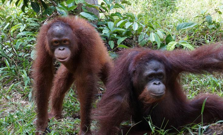 Terra und Ribang beim Spielen, ®Sintang Orangutan Center