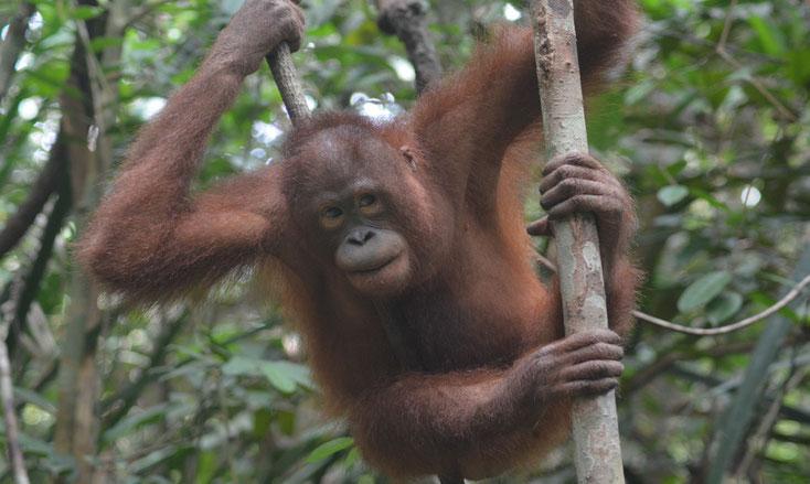 Mona beim Klettern, ®Sintang Orangutan Center