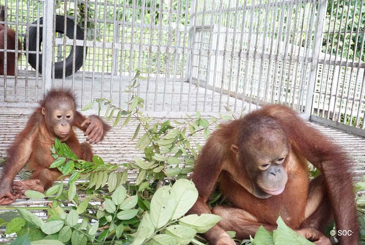 Manfred möchte gerne bei Jochem in der Schlafstelle bleiben..., ®Sintang Orangutan Center