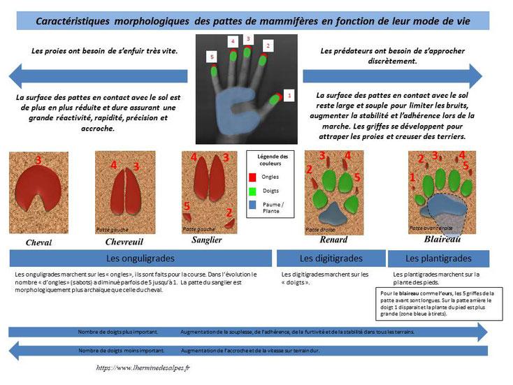 caractéristiques morphologiques des pattes et empreintes de mammifères en fonction de leur mode de vie