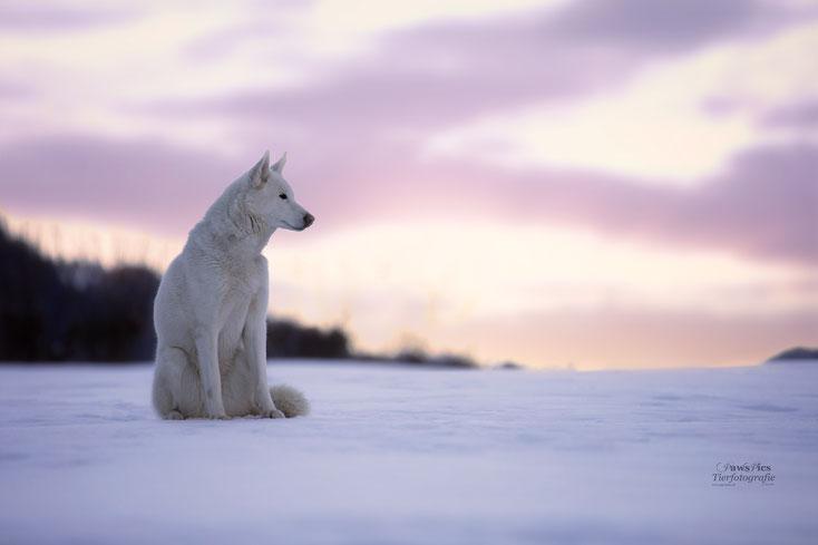 PawsPics, Tierfotografie, Tierbilder, Hundebilder, Hundefotos, Hundefotograf, Tierfotograf, Aargau, Fotoshooting mit Hund, Husky, Sibirian Husky