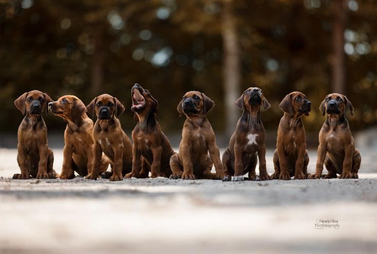 PawsPics, Tierfotografie, Tierbilder, Hundebilder, Hundefotos, Hundefotograf, Tierfotograf, Aargau, Fotoshooting mit Hund, Rhodesian Ridgeback, Welpenshooting