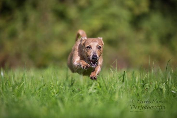 Tierfotografie, Nina Fisler, Podenco, PawsPics, Aargau, Freiamt, Hundefotografie, Dogshooting