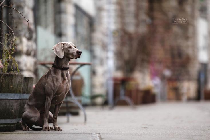 PawsPics, Tierfotografie, Tierbilder, Hundebilder, Hundefotos, Hundefotograf, Tierfotograf, Aargau, Fotoshooting mit Hund, Weimaraner, Citydog
