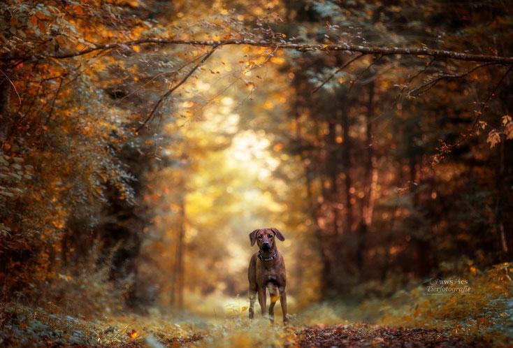 PawsPics, Tierfotografie, Tierbilder, Hundebilder, Hundefotos, Hundefotograf, Tierfotograf, Aargau, Fotoshooting mit Hund, Rhodesian Ridgeback
