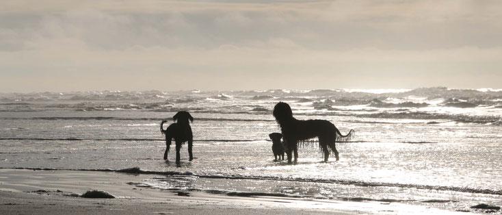 Hund, Tierheilpraxis, Briard, Havaneser