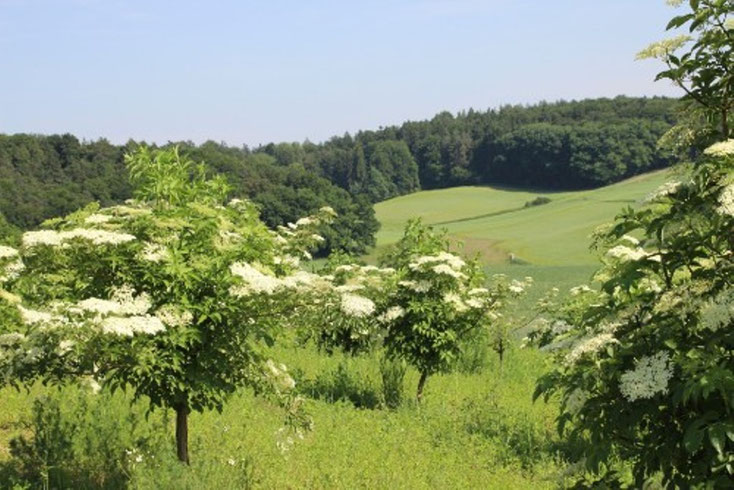 Holunderplantage - Biohof Kreitmair, Notzenhausen