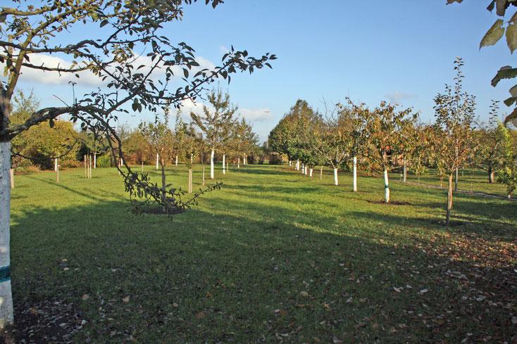 Die Streuobstwiese im Herbst 2009 - die meisten Bäume sind jetzt 15 Jahre alt  -  Foto: Hans Koch