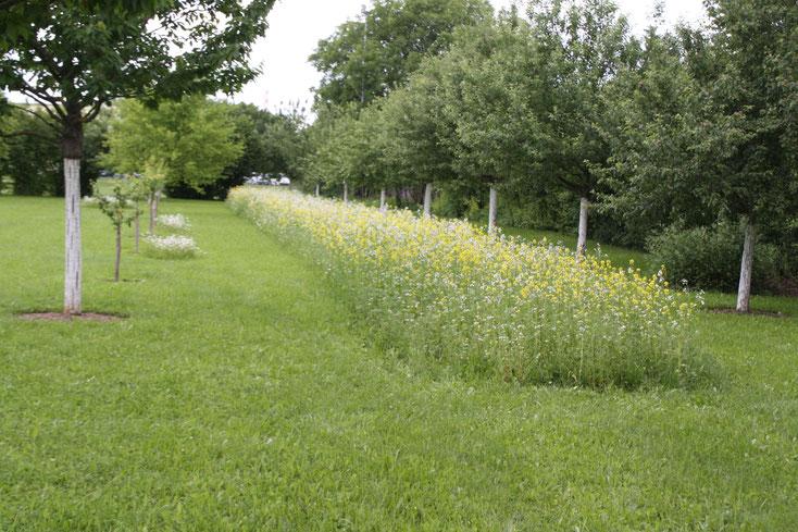 Die Bienenweide steht nach weiteren sechzehn Tagen in voller Blüte.