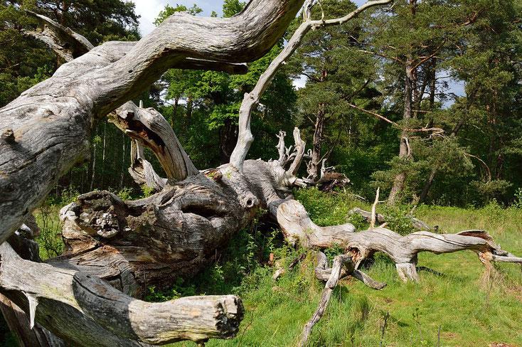 Totholz - Nöttinger Heide - Foto: Bishopple - vom 14.05.2016  -  CC BY-SA 4.0