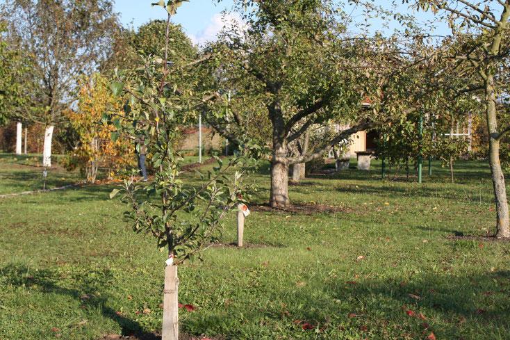 Obstbäume zwischen Weinspalier und Weinlaube   -  Foto: Hans Koch