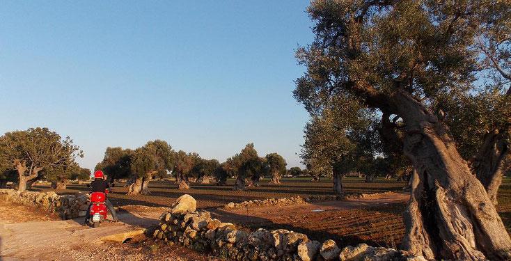 Vespa Vespatour Puglia ulivi secolari