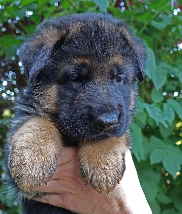 Maximus von Adeloga 5 Wochen alt
