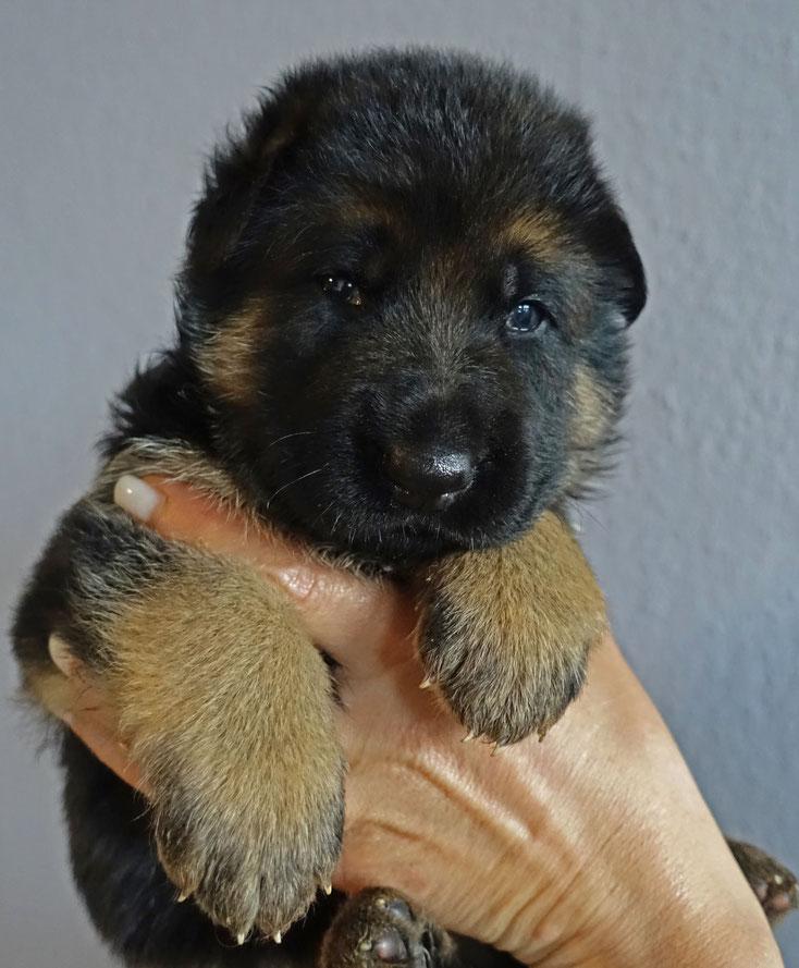 Maximus von Adeloga 3 Wochen alt