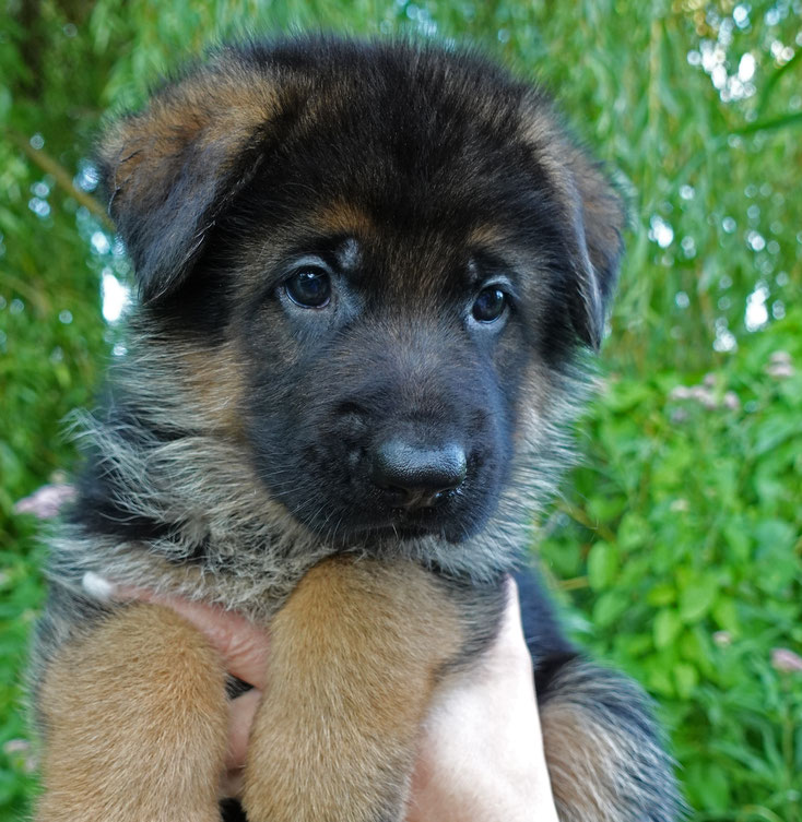 Loki von Adeloga 5 Wochen alt