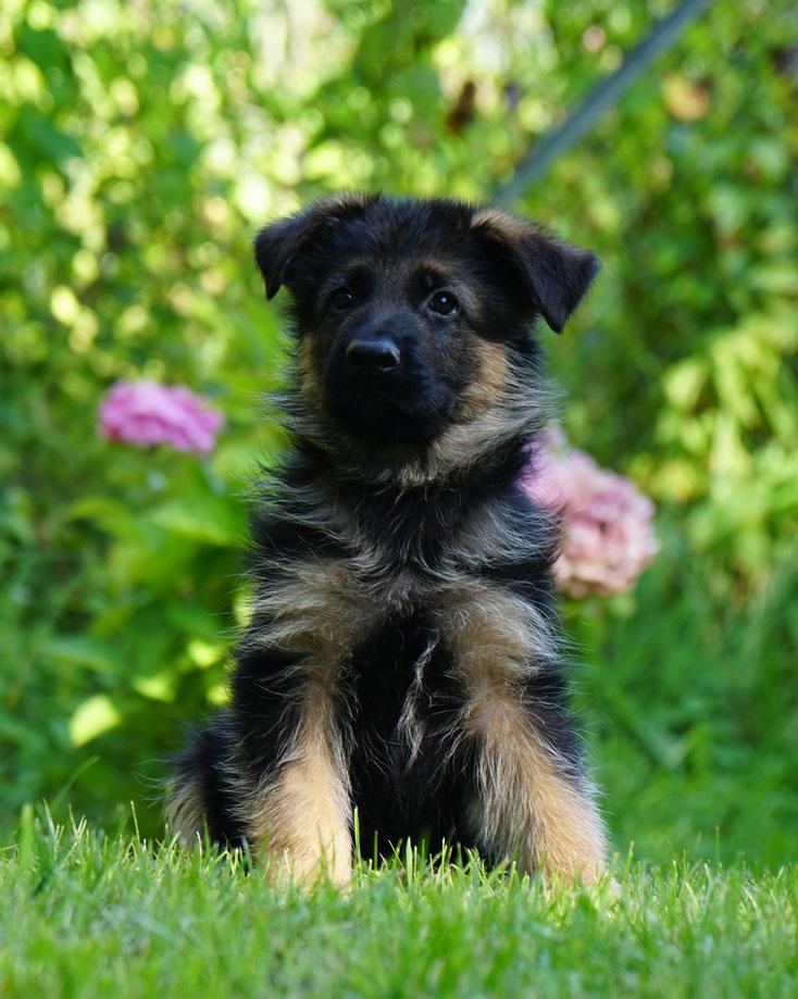 Vango (7 Wochen alt)