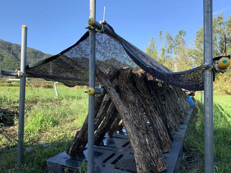 原木椎茸の栽培風景