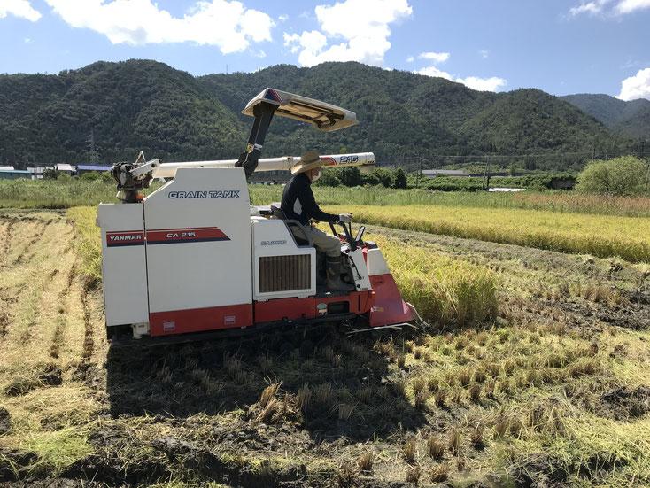 コシヒカリの稲刈り風景