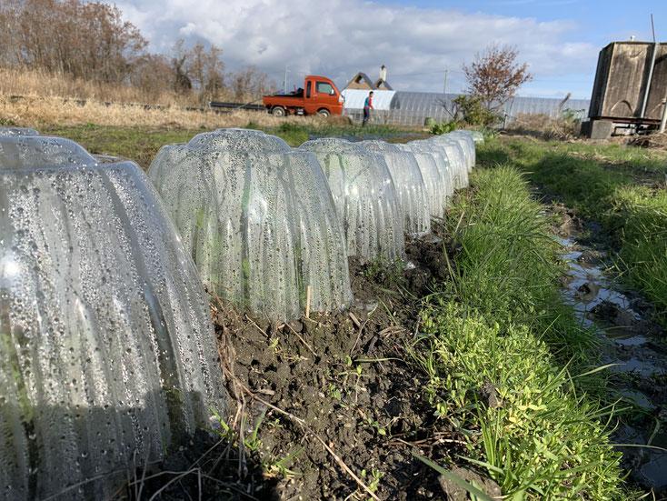 露地栽培の豆