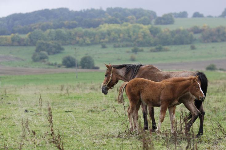 Oldenburger Pferde; Detektei Oldenburger Land, Detektiv, Privatdetektiv Oldenburger Land