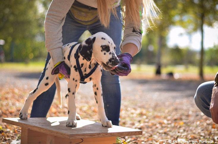 Kirk Douglas vom Furlbach (Picasso) in der Hundeschule auf dem Wackelbrett...27.11.2016