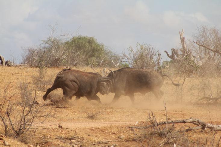 Büffel in Kenia