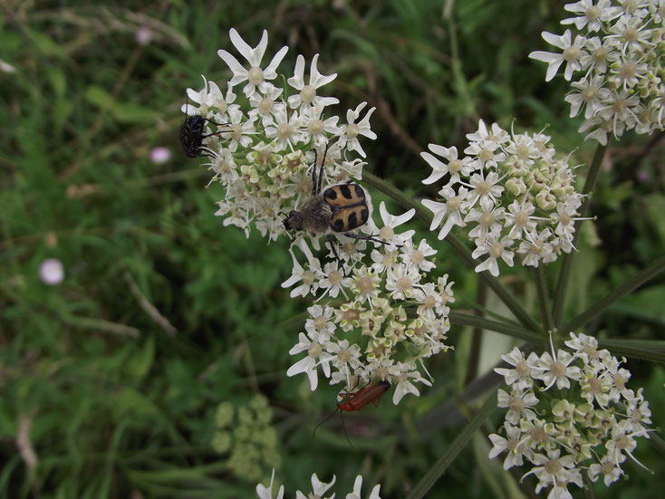Typische Blütenbesucher auf einem Blütenstand des Wiesenbärenklaus (Heracleum sphondylium)