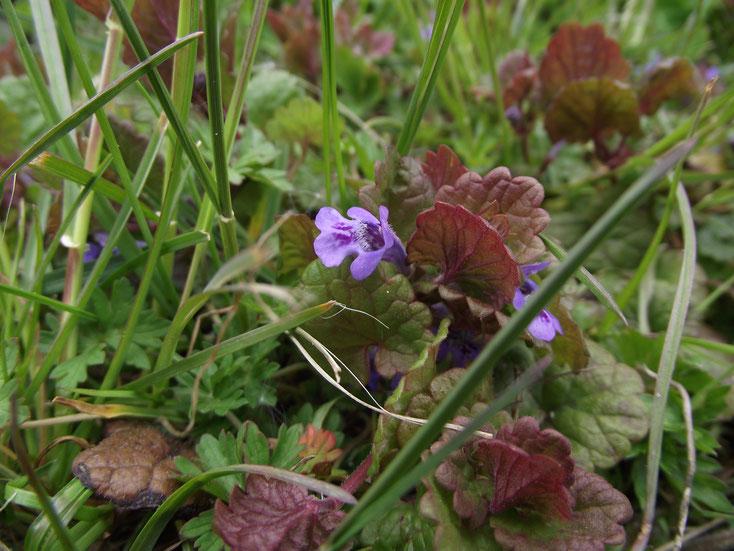 Die Blüten des Gundermanns haben eine charakteristische Oberlippe.