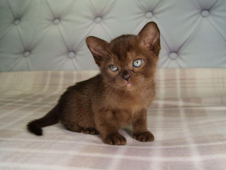 Котенок породы бурма , окрас соболиный (коричневый)