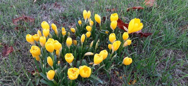 Les sternbergias, appelés aussi crocus d'automne ou vendangeuses, produisent des fleurs de septembre à octobre.