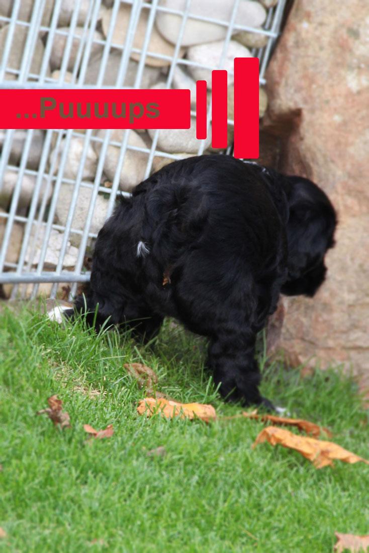 schwarz-weisser tibet terrier rüde, welpe, 7 wochen alt