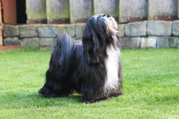 schwarzer Tibet Terrier mit weißer Brust steht vor einer Steinwand und guckt nach oben