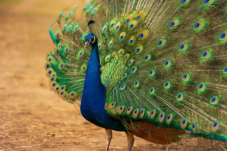 paon bleu fiche oiseau inde animal facts birds blue indian peafowl pavo cristatus