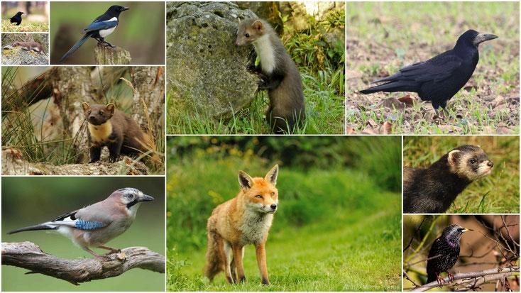 10 animaux en voie de destruction considérés comme nuisible en france renard belette fouine martre putois corbeau corneille pie geai etourneau