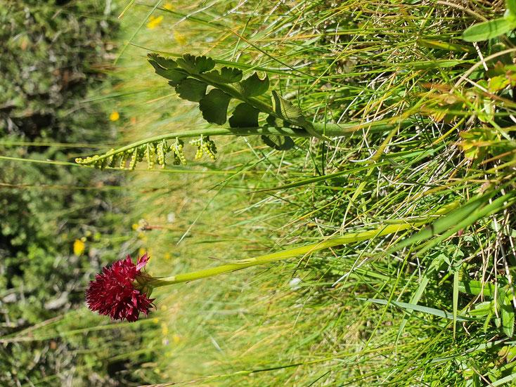 Nigritella rhellicana und Botrychium lunaria in Kombination. Stulsertal Bild: Marcel Ambühl