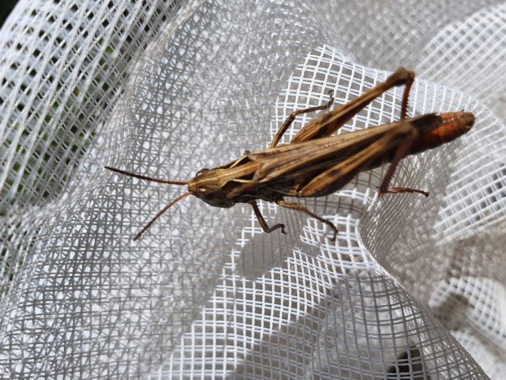 Chorthippus biguttulus (Nachtigall-Grashüpfer)