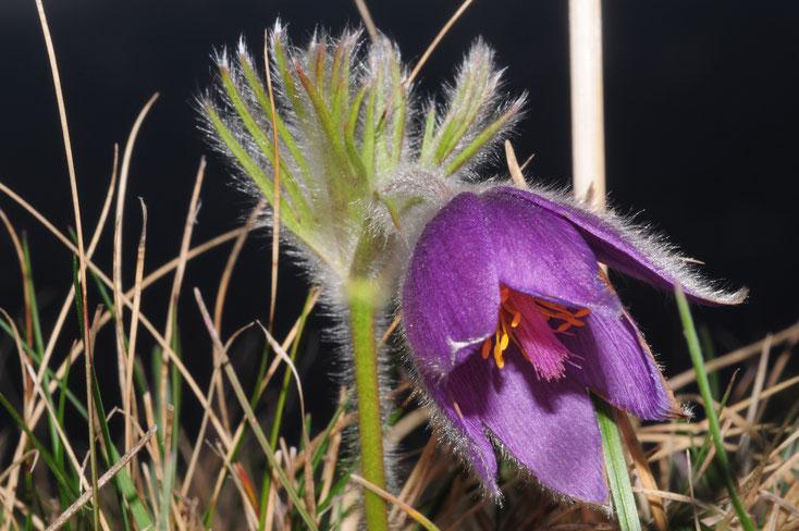 Pulsatilla vulgaris (Gemeine Küchenschelle) 26.3.17 Bild: Marcel Ambühl