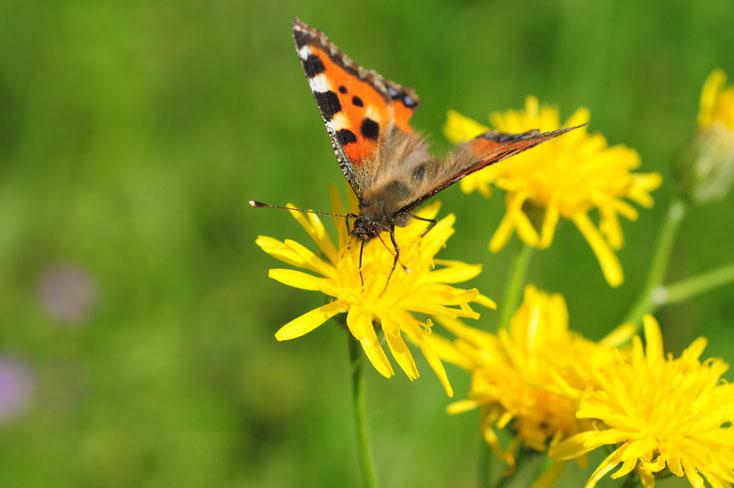 Crepis biennis mit Schmetterling Bild:Marcel Ambühl