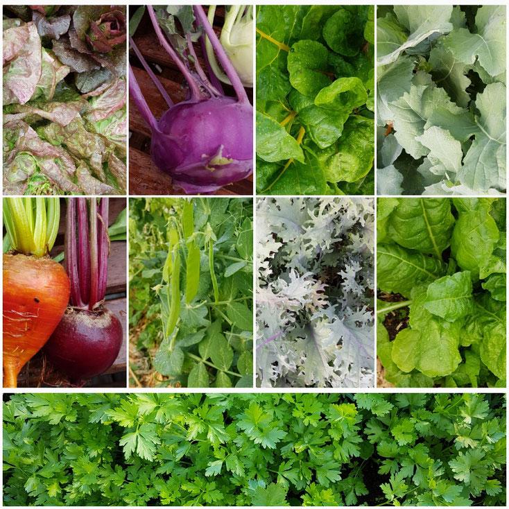 Frisch aus dem Garten dieses Wochenende: rote, gelbe und weiße Bete, Kohlrabi, Salate, Zuckerschoten, Mangold, Schnittkohl, Petersilie und gemischte Kräuter deiner Wahl. Bitte um Voranmeldung!