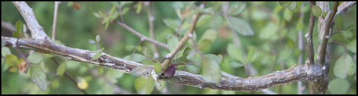 Myrrhe - die Balsamstaude - ein wichtiges Heilmittel der Klöster