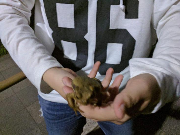 手の平に乗るヒキガエル。