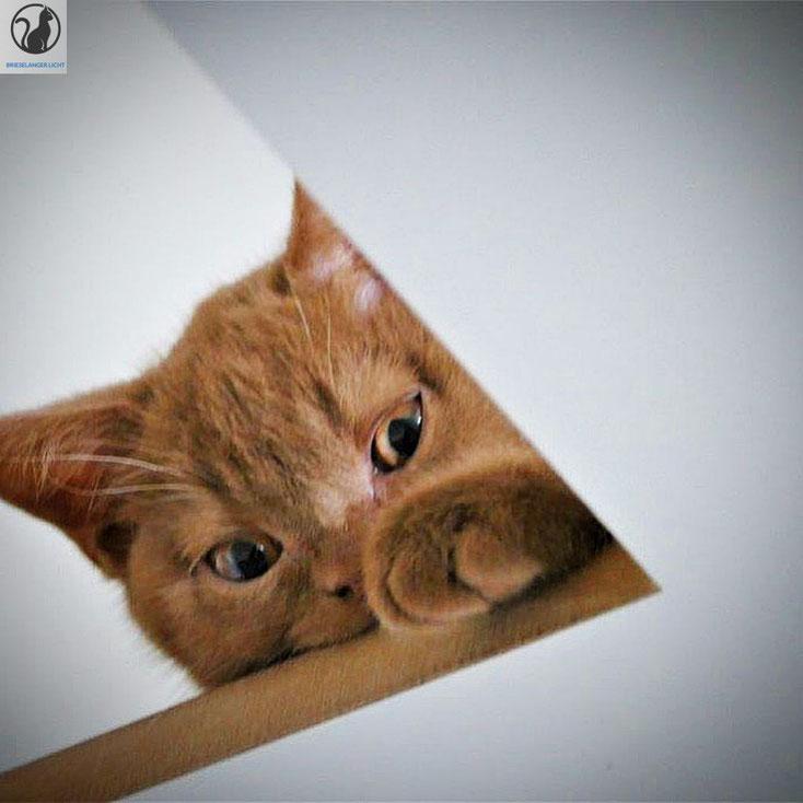 Unsere liebe Katze hat ihren BKH Kater in blue 2021 gefunden. Wir erwarten Kitten Nachwuchs Ort Brieselang Brandenburg Berlin Potsdam