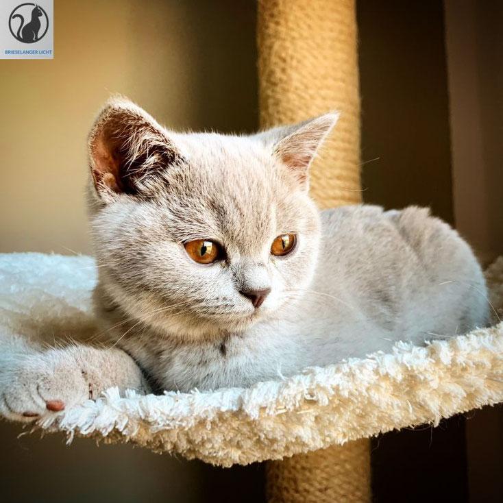 Liebevolles British Shorthair Mädchen vom Rassekatzenzüchter mit Stammbaum aus Hobbyzucht Worldchampion. wunderschöne Katzen brauchen keinen Filter.
