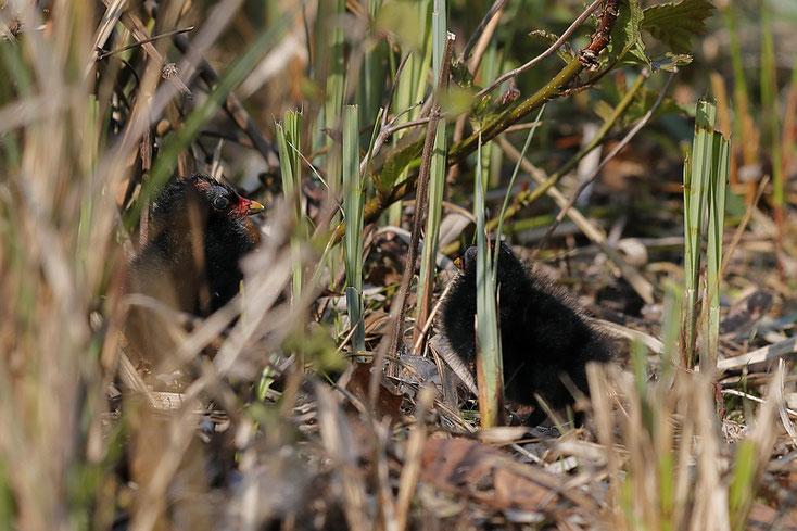 Gut versteckt im Schilf - die kleinen Küken der Teichhühner - Foto: Dennis Sallai