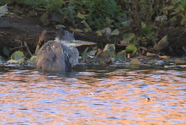Graureiher bis zu Hals im Wasser