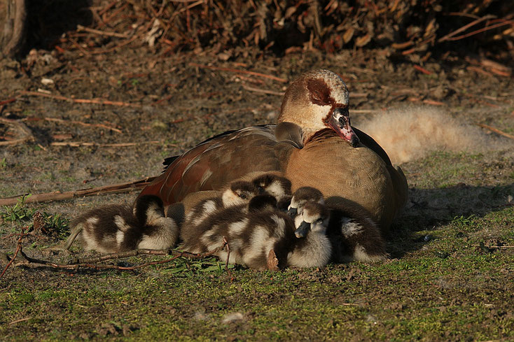 Mama Nilgans mit sechs Gösseln